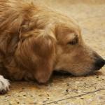 犬の夏バテでの下痢や嘔吐の対策は?おすすめのグッズや食事について
